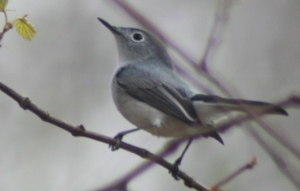 blue-gray%20gnatcatcher%20enri%20cox%20mountain%2041206